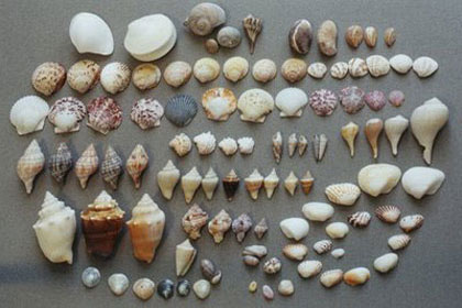 sanibel-shells