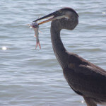 Blue Heron Fishing Sanibel